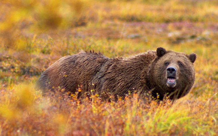 1024px-Grizzly_Denali_Crop